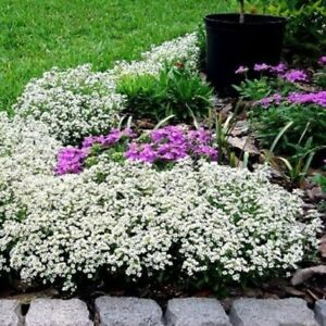 Alyssum-Carpet of Snow ;)300+ Heirloom. White. Pretty. Instructions Included Xx