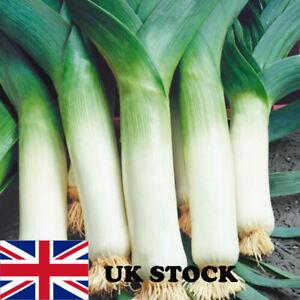 Leek Giant Winter Vegetable Herb 50 Seeds Garden Outdoor Grow  UK Seller