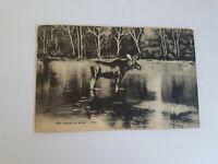Bull Moose in Maine Postcard Vintage