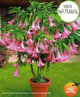Tree Dwarf Brugmansia Seeds Plants Suaveolens Flamenco Angel's Trumpets 100pcs