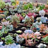 300pcs Mixed Succulent Seeds Lithops Living Stones Plants Cactus Home Beauty New