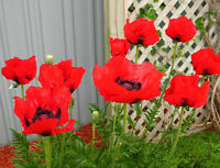 "Papaver orientale ORIENTAL POPPY✿1000 SEEDS✿SCARLET RED Large Flowers 36"" Tall"
