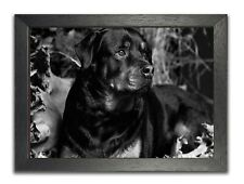 Rottweiler #10 Big Lying Dog Watching Large Black & White Photo Poster Picture