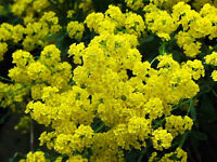 alyssum, GOLDEN TUFT, basket of gold, 250 seeds! GroCo*