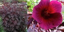 Hibiscus rosso SCUDO semi-vegetale sofisticato, facile da coltivare,