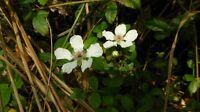 Sand Blackberry (Rubus cuneifolius) ✤ 100 Seeds