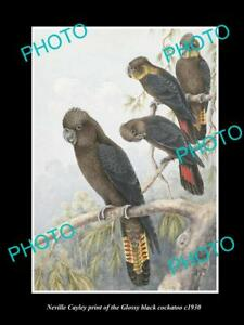 NEVILLE CAYLEY VINTAGE PRINT OF AUSTRALIAN BIRDS 16x11 GLOSSY BLACK COCKATOO