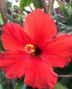 (3) Tropical Hibiscus ~Presidents Red~ Stems/Branches/Cuttings, Bush/Shrub/Tree