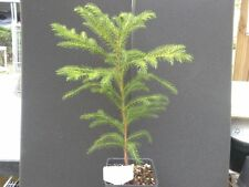 Araucaria columnaris - Buy 1 Get 1 Free Cooks Pine Tree/Seedling New Caledonia