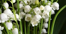25  Lily of the Valley pips (convallaria majalis), for planting