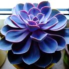Echeveria Exotic Seeds,Sempervivum,Cyclops,Cactus Blue Black Red Succulent Seed[