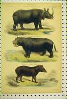 Original Old Antique Print Mammalia C1850 Colour Tapir Rhinocerous Hippopotamus