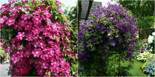 2 x Clematis Mix Plug Plants Climbing Vine Flowering shrub