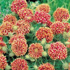 Flor - Gaillardia pulcella Danza Ritual Del Sol BICOLOR - Aprox 125 Semillas -