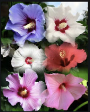 """3 Rose of Sharon Hardy Hibiscus Syriacus 6"""" -10"""" plants ~ bare root (no pot)"""
