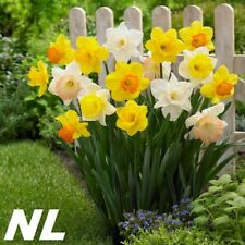 200Pcs Narcissus Flower Seeds 6 Variety Popular Plant Fragrant Elegant Garden