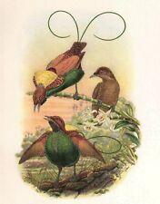 Original John Gould 1948 BIRD OF PARADISE print - #2