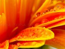 WATER DROPS PETALS ORANGE FLOWER MACRO PHOTO ART PRINT POSTER PICTURE BMP2200A