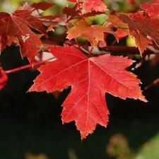 Red Maple Shade Tree (3-4')