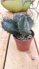STENOCEREUS PRUINOSUS 5,5 pot Cactus vivo Kakteen Live Cactus