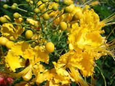 Caesalpinia Pulcherrima Yellow 7 Seeds Mexican Bird Of Paradise Small Shrub Tree