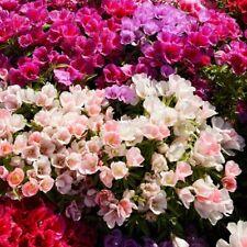 Seeds Godetia Grandiflora Mix Flower Plant Annual Garden Organic Ukraine