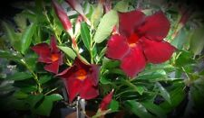 Mandevilla Garden Crimson 3 inch pot