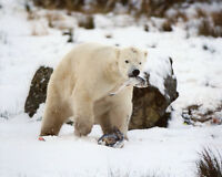 Nature HUNGRY POLAR BEAR in snow Glossy 8x10 Photo Print Wall Art Poster