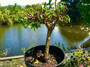 "Bonsai Style Pre-bonsai Bougainvillea Tree 15 Years , 3"" Trunk  indoor /Outdoor"