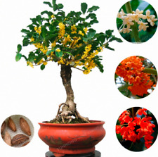 New Listing20 Pcs Seeds Osmanthus Fragrans Bonsai Sweet Olive Tree Cultivated Plants Garden