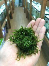 Christmas Moss, Vesicularia montagnei, Aquascaping ADA Live Plants - Xmas Moss