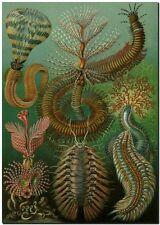 "ERNST HAECKEL CANVAS PRINT Art Nouveau Vintage Sea Nature 24""X 18"" Chaetopoda"