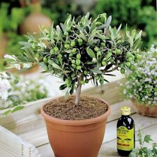2 Olives Tree Seeds Olivarum Home Garden Perennial Lovely Edible Useful Plants
