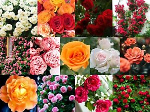 ✅ 🌹 Colorful mix Rose Flower Seeds Home Garden Plants Colorful Rose RS24-50