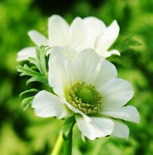 15 Anemone The Bride (De Caen) Pure White Bulbs Ideal For Rockery Borders & Tubs