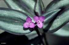 Tradescantia Zebrina pendula - Wandering Jew- Succulent -2 x Cuttings and ROOTED