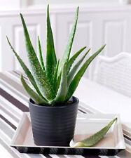 100 Semillas Seeds Interior Plantas fuertes Suculentas Jardín Aloe Vera