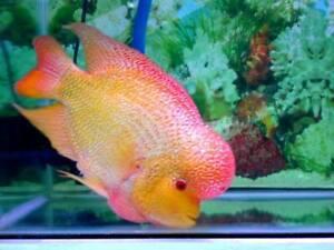 +*SALE* Flowerhorn Cichlid 1 to 2 inch Goldbase