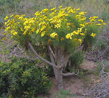 Giant Coreopsis | Coreopsis gigantea | Rare Hard to Find Seeds | Succulent Tree