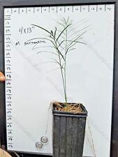 FREE SHIPPING Macrozamia Serpentina 1Gallon Seedling Encephalartos Cycas Cycad