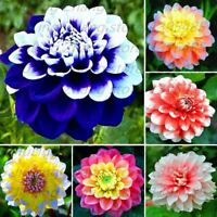 40 pcs/bag dahlia flower dahlia bonsai flower seeds Bright blue dahlia flowers P