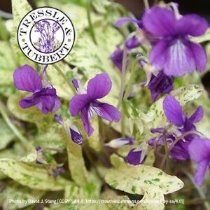 Rare Viola mandschurica Fuji Dawn Perennial Flower 10 seeds UK SELLER