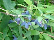 LONICERA CAERULEA EDULIS 'BLUE VELVET' - HASKAP -  STARTER PLANT -DORMANT