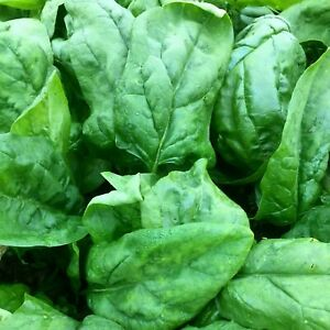 500 X ORGANIC Spinach Giant Leaf Vegetable Seeds