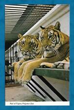 C1970'S PC PAIR OF TIGERS AT PAIGNTON ZOO, DEVON