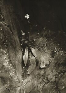 1933/56 Vintage Josef Sudek Forest Flowers Jestrabnik Original Photo Gravure Art