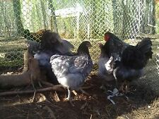 blue laced red Wyandotte hatching eggs 6 to 8 eggs guaranteed