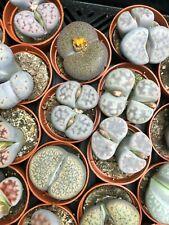 SET Lithops MIX VERY BIG!!!!   x10 pot / STENOGONIA ariocarpus obregonia