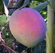 10 Seeds golden mango Nam Doc Mai, Mongo Tree, Tropical Fruit Seeds!