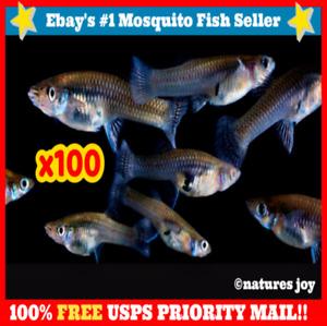 🐟 100 LIVE MOSQUITO FISH Gambusia Pond Aquarium Feeder Guppies Guppy Minnows